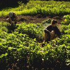 Jacob Duncan, left, and Jacie Reis get their hands dirty while working at Market Farm on a sunny ...